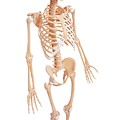Human Skeleton by Pixologicstudio/science Photo Library