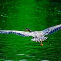 Great Blue Heron by Brian Stevens