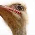 Ostrich Closeup by Terry Fleckney