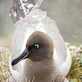 A Light Mantled Albatross by Ashley Cooper