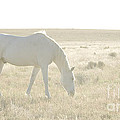 A White Mustang Feeds On Dry Grass Fields Of Arizona by B Christopher