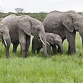 African Elephants Grazing  Kenya by Tui De Roy