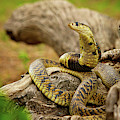 African Snakes by Shannon Benson