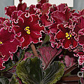 African Violets  by Ruth  Housley