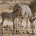 African Wild Ass Equus Africanus by Eyal Bartov