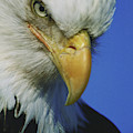 American Bald Eagle Haliaeetus by Cary Anderson