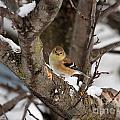 American Goldfinch In Winter by J McCombie