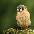 American Kestrel by Inspired Nature Photography Fine Art Photography
