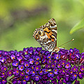 American Painted Lady by Geraldine Scull