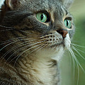 American Shorthair Cat Profile by Amy Cicconi