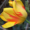 Tulip In The Wind by Anjanette Douglas
