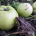 3 Apples And A Frog by Ausra Huntington nee Paulauskaite