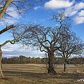 3 Appleton Trees by David Stone