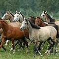Arabian Horses by Angel Ciesniarska