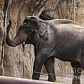 Asian Elephant by Mandy Judson