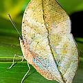 Autumn Leaf Butterfly by Millard H. Sharp