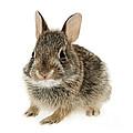 Baby Cottontail Bunny Rabbit by Elena Elisseeva