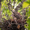 Baby Red Shouldered Hawk In Nest by Jai Johnson