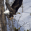 Bald Eagle   #8309 by J L Woody Wooden