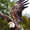 Bald Eagle by Les Palenik