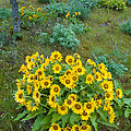 Balsamroot by John Shaw