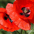 Beautiful Poppies 2 by Carol Lynch