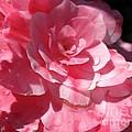 Begonia Named Nonstop Pink by J McCombie