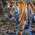 Bengal Tiger Panthera Tigris Tigris by Panoramic Images