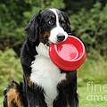 Bernese Mountain Dog by John Daniels