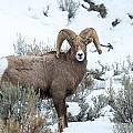 Bighorn Sheep by Michael Chatt