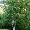 3 Birch Trees On A Hill by Kerri Mortenson