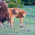 Bison Babies by Elijah Weber