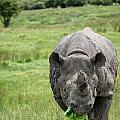 Black Rhinoceros Diceros Bicornis Michaeli In Captivity by Matthew Gibson