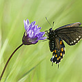 Pipevine Swallowtail Butterfly by Jim Thompson