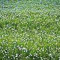 Blooming Flax Field by Elena Elisseeva