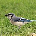 Blue Jay by J McCombie
