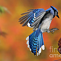 Blue Jay by Scott Linstead