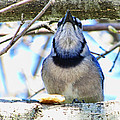 Blue Jay With Bread  by Debbie Portwood