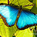 Blue Morpho Butterfly by Millard H. Sharp