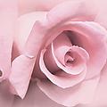 Blushing Pink Rose Flower by Jennie Marie Schell
