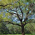 Bok Tower Gardens Oak Tree by Deborah Good