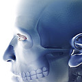 Bones Of The Face by Science Picture Co