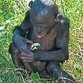 Bonobo Baby by Millard H. Sharp