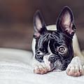 Boston Terrier Puppy by Nailia Schwarz