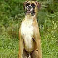 Boxer Dog by Jean-Michel Labat