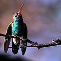 Broad Bill Hummingbird by Bruce Arnold
