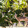 3 Bucks Caught In A Orchard by Brian Williamson