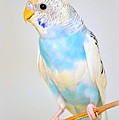 Budgie by Nathan Abbott