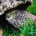 Burrowing Owl  by Nick  Biemans