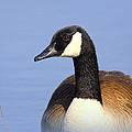 Canada Goose by Travis Truelove